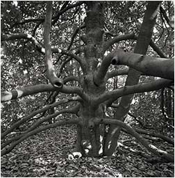 magnolia buddha