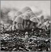 Don Quixotte Mushroom