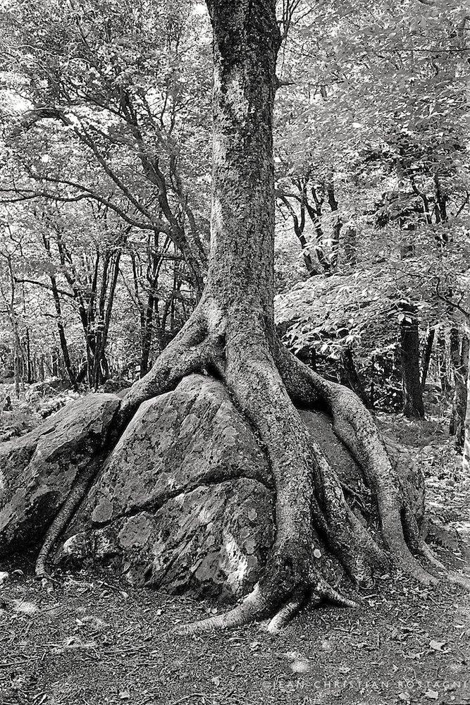 appalachia tree