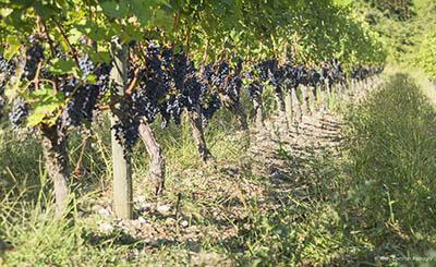 vignes, chateau léhoul
