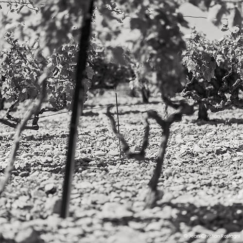 Vine of the Southern Rhône Valley